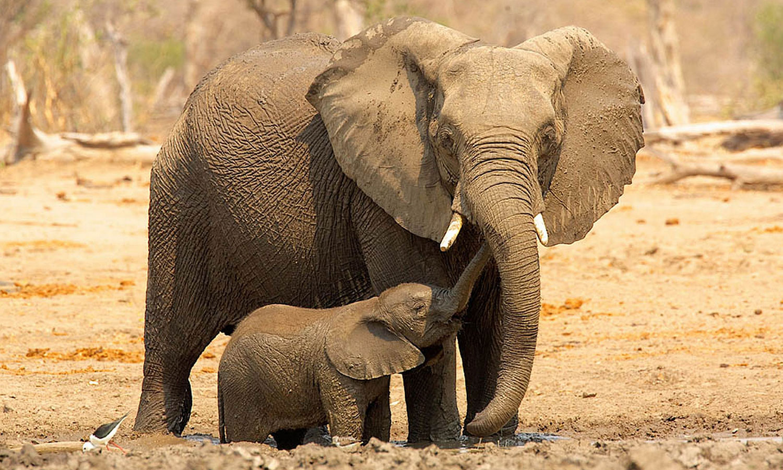 Elephants Animal Animals Calf: AnimalsTrust ONLUS » No Safari
