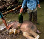 Save Sumatra Elephants